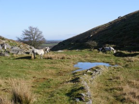 Moorland Ponies at Bowithick Dam